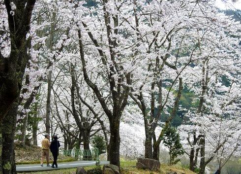 土師ダム 満開の桜が圧巻!約6000本が咲き誇る