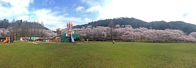 土師ダム 桜が満開で見頃へ