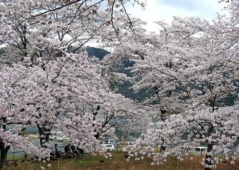 土師ダム 満開の桜に包まれる