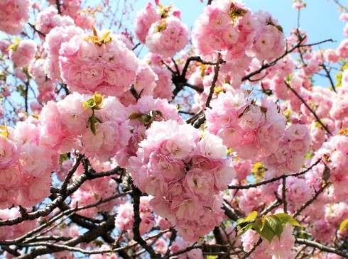 広島造幣局 八重桜の写真