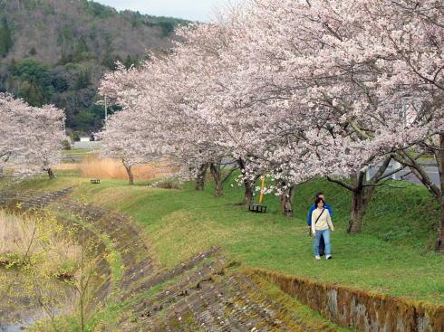 三次市 美波羅川千本桜の写真6