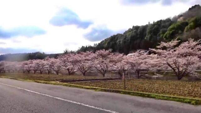 三次市 美波羅川千本桜の写真2