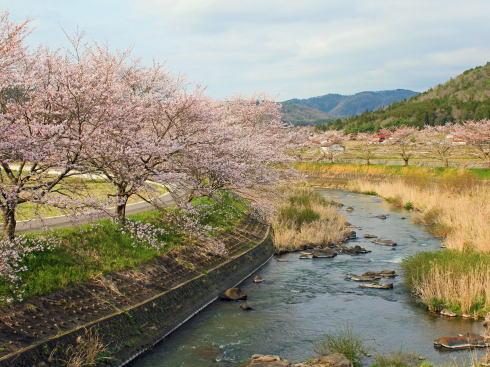 三次市 美波羅川千本桜の写真3