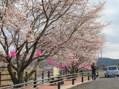 三次市 美波羅川千本桜の写真7