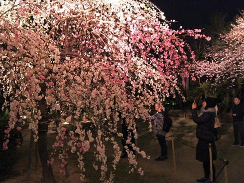 広島 桜 ランキング9位 縮景園