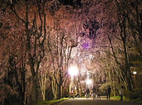 広島 桜 ランキング10位タイ 世羅甲山ふれあいの里