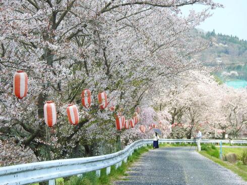 世羅 芦田川沿い 桜並木 画像3