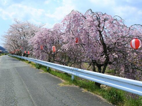 世羅 芦田川沿い 桜並木 画像4