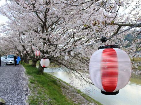 世羅 芦田川沿い 桜並木 画像8