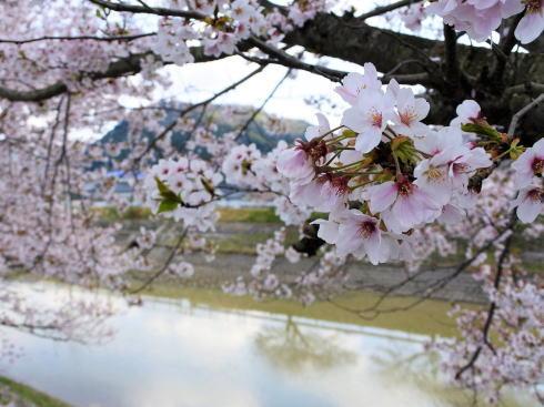 世羅 芦田川沿い 桜並木 画像2