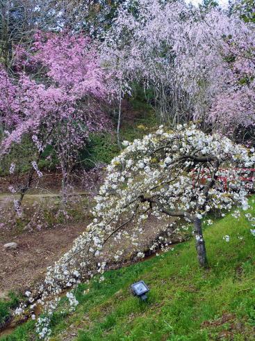 世羅 甲山ふれあいの里 いろんな桜が咲きます