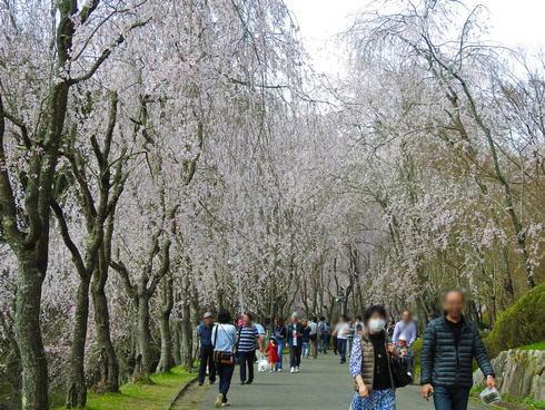 世羅 甲山ふれあいの里 枝垂桜が美しい