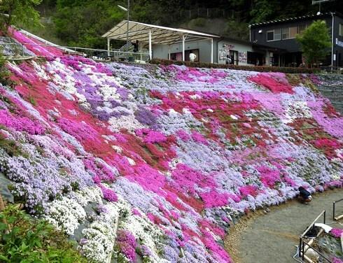 芝桜が見頃、田島・ふくろうの花畑