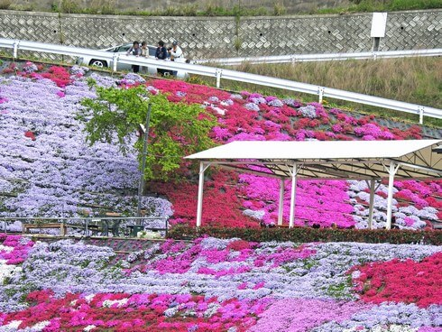 ふくろうの花畑で芝桜が見頃