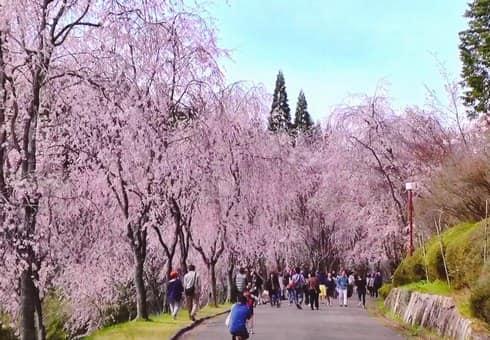 世羅 甲山ふれあいの里、降り注ぐしだれ桜のカーテンに包まれて