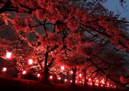 廿日市市の桜スポット、住吉堤防敷