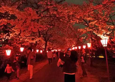 廿日市・住吉堤防敷の夜桜が満開で見ごろ