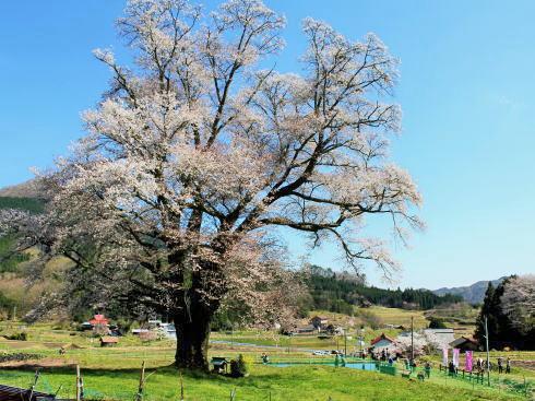 庄原・千鳥別尺のヤマザクラ、県内最大の巨樹と青空見上げて