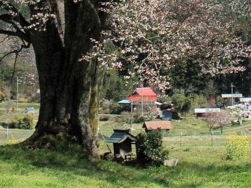 庄原市 千鳥別尺のヤマザクラ 根本には小さな神社も