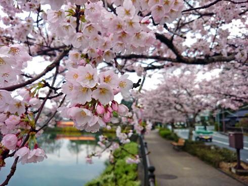 庄原市 上野公園の桜 画像3