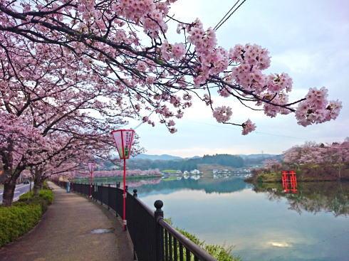 庄原市 上野公園の桜、上野池の遊歩道を散歩しながら楽しんで