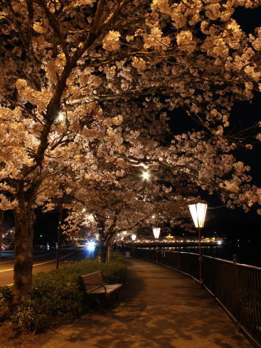 上野公園(庄原)夜桜ライトアップ 画像4