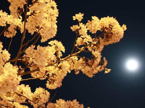 上野公園(庄原)夜桜ライトアップ 画像5