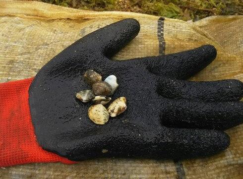 あさりの種貝