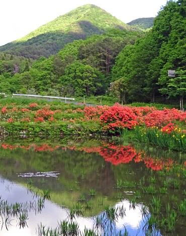 広島県 安芸太田町 小坂交差点のレンゲツツジ 画像4