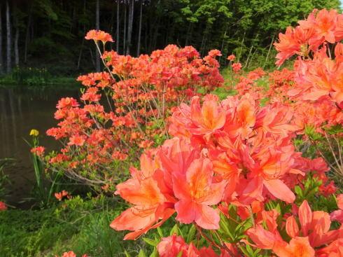 新緑に映えるオレンジのレンゲツツジ、安芸太田町に鮮やかに咲く風景