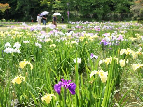 上下あやめ祭り(あやめ園)、広島県府中市に10万本咲き誇るスポット