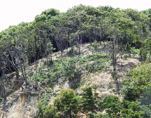 カワウの糞害で木が枯れた宮島の杉之浦2