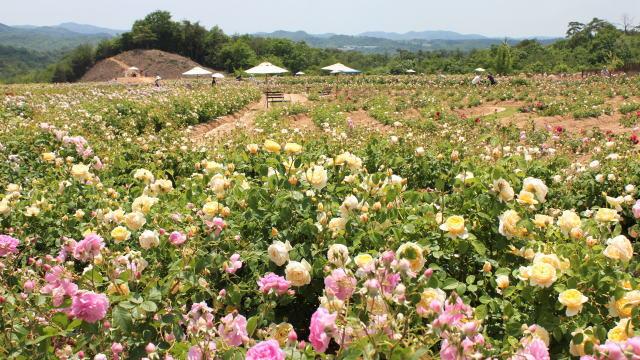 世羅高原 花の森 バラ園の様子9