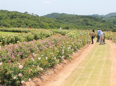 世羅高原 花の森 バラ園の様子5