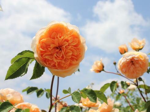 世羅高原 花の森 イングリッシュローズ2