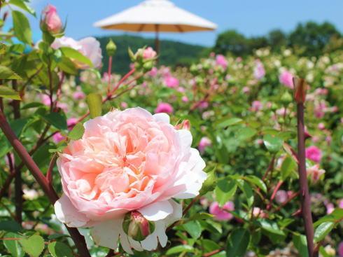 世羅高原 花の森 バラ園の様子8
