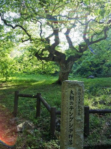 北広島町 テングシデ 国の天然記念物