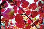 ハートの形が可愛いベニマンサク、おおの自然観察の森で紅葉がみごろ
