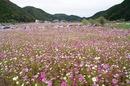 庄原市 田総の里スポーツ公園でコスモス畑が満開!紅葉と共に楽しんで