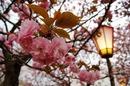 広島 五日市で「花のまわりみち」造幣局の桜は遅咲きの八重桜