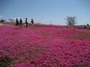 花夢の里 ロクタン、芝桜が咲き誇る!GWが満開で見頃に