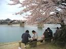 錦帯橋は桜が満開!お花見は今がまさに見頃のピーク!