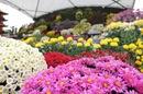広島城 大菊花展、色とりどりの菊が華やかに咲き誇る