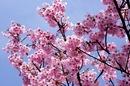 音戸の瀬戸公園の桜、海と2つの朱色の橋を望む絶景お花見