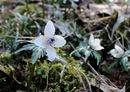 総領町で 節分草(セツブンソウ)自生地公開中、庄原に小さな春の訪れ