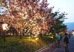 造幣局広島支局 花のまわりみち、BGMバックに夜桜もロマンチック