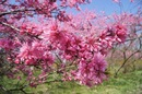 世羅 ラスカイファームが満開!菊桃のお花畑パラダイス
