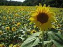 世羅高原の ひまわりが見事に咲き誇る!100万本のヒマワリが一面に