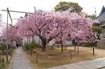 尾道 天寧寺、満開のしだれ桜が美しく 座禅体験もできる