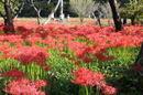 三次市の彼岸花群生地、燃えるように咲く真っ赤なヒガンバナが満開に